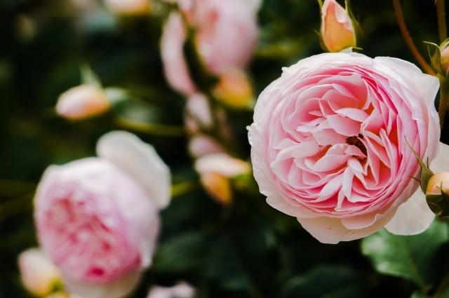 バラの香り演出