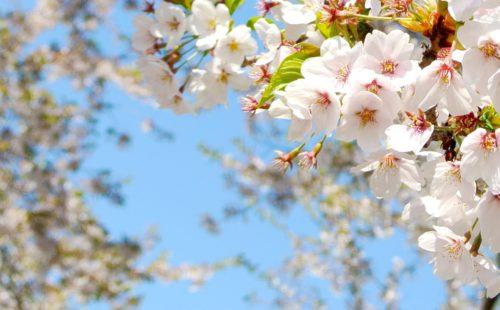 桜の香り_香り演出